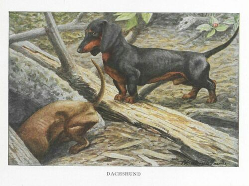 Dachshund - 1927 Color Dog Art Print - Matted
