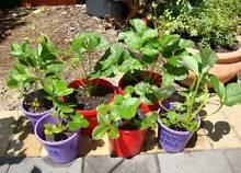 Strawberry Warnbro Rockingham Area Preview