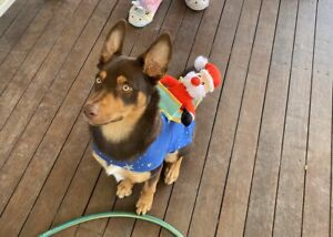 Bear the purebred male kelpie - need gone ASAP