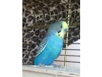 Male Budgie for sale! 10 months old!