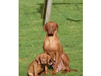 Hungarian vizslar puppy for sale