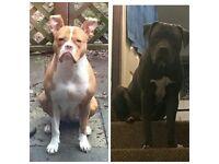1/2 American bulldog 1/2 cane corso puppies