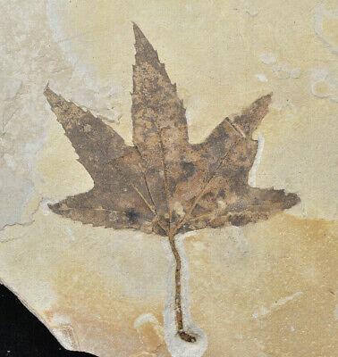 Leaf Fossil Platanus wyomingensis Sycamore Green River Formation Bonanza Utah