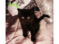 1 Turkish angora kittens left