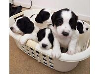 Sprollie black and white female pups 6 weeks old