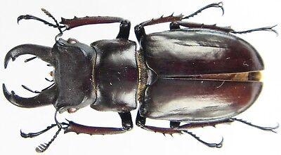 Lucanus nobilis N.Vietnam Insect medium Male 55~56mm ....!!