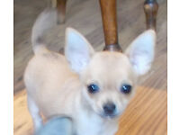 Female Chihuahua Puppy, Pedigree
