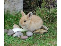 Three beautiful baby Lop Ear rabbits looking for loving homes.