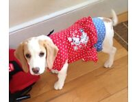 Lovely Beagle puppy for salle