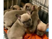 READY MAY 2020 French bulldog puppies With KC papers. DNA Tested