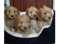 Mixed Cocker Poodle Puppies!