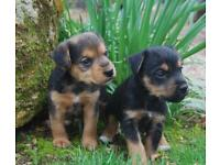 Lakeland puppies