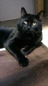 """Young Male Cat - Domestic Short Hair: """"Indigo*watch My Video*"""""""