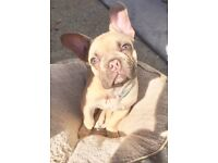 LILAC/CHOCOLATE FRENCH BULLDOG KC REGISTERED.