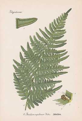 Pteridium aquilinum - Adlerfarn THOME Lithographie von 1886  Farn Farne
