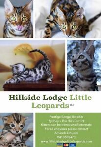 Beautiful Silver & Brown Bengal Kittens Pedigreed Glenorie The Hills District Preview