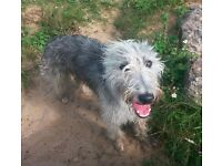 lurcher whippet/bedlington only 2 boys left