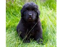 Gorgeous Newfoundland Puppies for sale READY NOW
