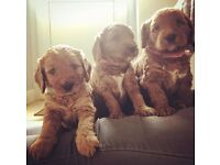 SETTER (CROSS) X MINIATURE POODLE PUPPIES