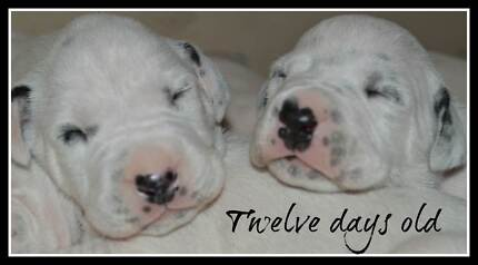 Dalmatian Puppies - Purebred Tallegalla Ipswich City Preview