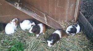 Baby male Guinea pigs. Medowie Port Stephens Area Preview