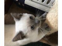 For sale Ragdoll kitten female