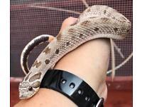 Male 2013 anaconda hognose