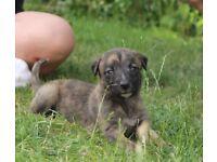 Beautiful Lurcher Puppies