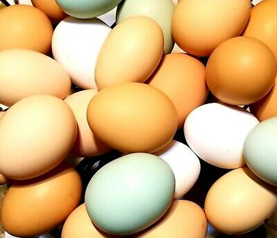 6 Chicken Barnyard Mix Hatching Eggs Fertilized