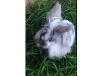 Lionhead Rabbit