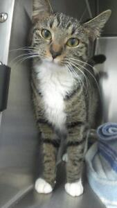 """Young Female Cat - Domestic Short Hair: """"Emma"""""""