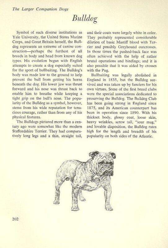 "The Bulldog - Vintage Dog Art Print - Matted ""G"""