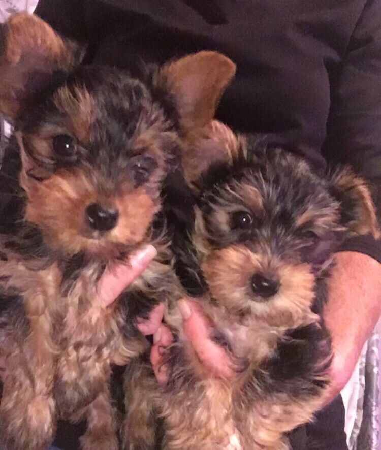 1 Beautiful Teacup Yorkshire Terrier For Sale In Johnstone