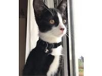 Beautiful black and white male kitten