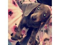 Miniature Dashhound blue and tan girl puppy