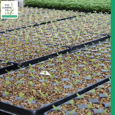 Seedlings germinating through layer of vermiculite.
