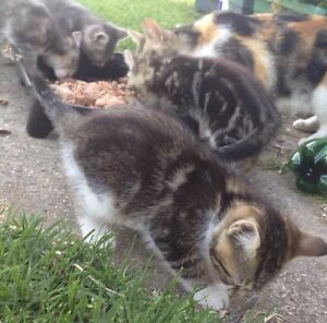 Free kittens to good hone Meadow Heights Hume Area Preview