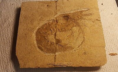 Shrimp Fossil Antrimpos sp. ,aeger tibularis Upper Jurassic Eichstadt Germany