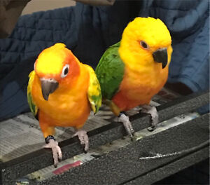 Birds for Sale - Conures