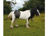 13.3hh cob 6yo mare for sale