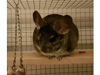 Male chinchilla