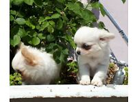 Adorable Pure Chihuahua Long Coat Male Puppy