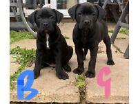 Ready to leave: Labrador cross American Bulldog puppies