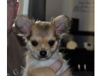 Pedigree Chihuahua's