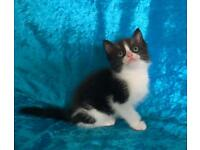 Ragdoll X Maine Coon kittens ready now