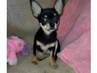 Chihuahua boy 16 weeks