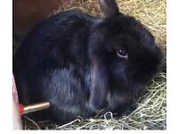 Rabbit (female) for re-home with hutch. DUFFIELD, Belper