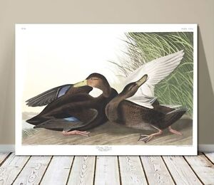 "FAMOUS BIRD ART ~ CANVAS PRINT 8x10"" ~ JOHN AUDUBON ~ Dusky Duck"