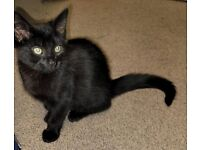 5 MONTH OLD KITTEN FOR SALE