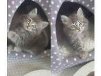 Gorgeous Tabby kittens fluffy and short prices vary